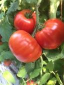 tomato20ripe