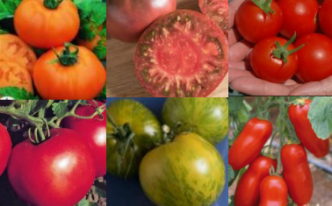 Tomato picts